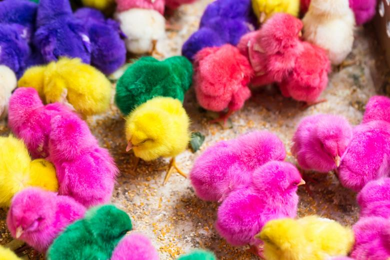 Free Stock Photo of Colorful cute little baby chickens Created by Curioso Photography