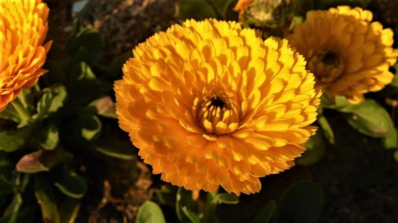 Free Stock Photo of Yellow Mums Flowers Created by Ahamad Ali Nakvy