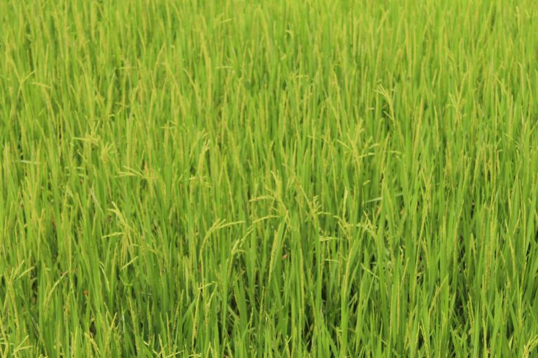 Free Stock Photo of Beautiful Rice Field in Asia Created by vanse