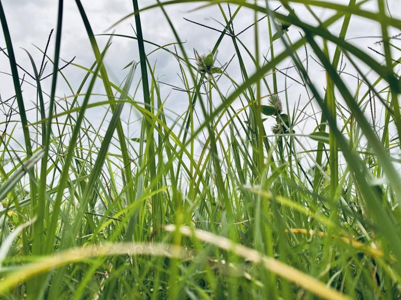 Free Stock Photo of High Green Grass Background Created by Sakeer
