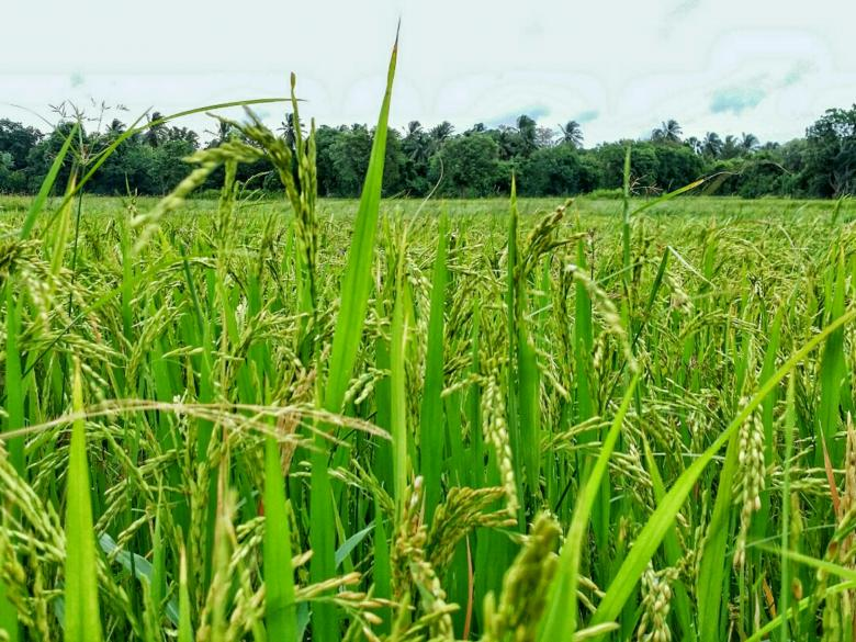 Free Stock Photo of Green Paddy Field Created by Nushrath Ahamed