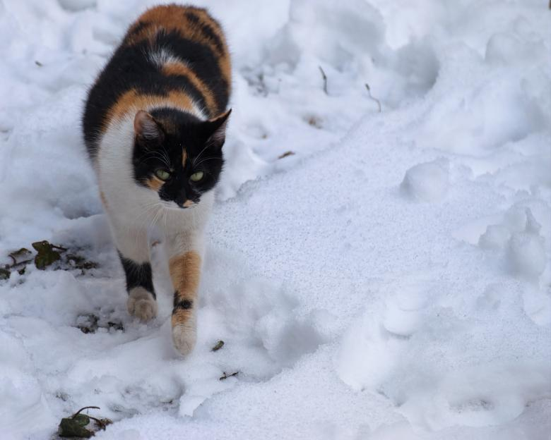 Free Stock Photo of Cat in snow Created by Mircea Iancu