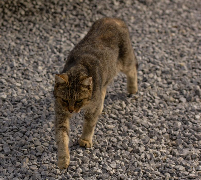 Free Stock Photo of Walking Cat Created by Alen