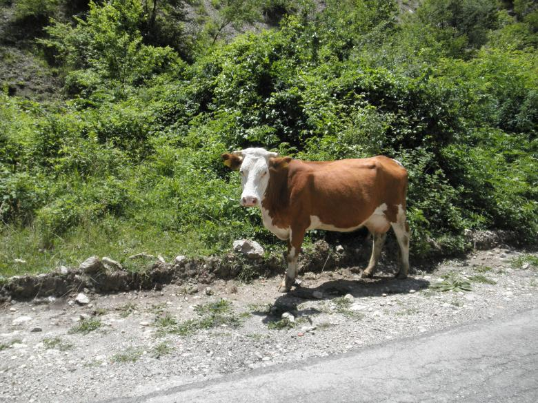 Free Stock Photo of Cow in Rugova Mountains in Peja, Kosovo Created by vigan bala